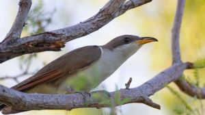 The United States is abandoning habitat critical to the survival of a rare songbird