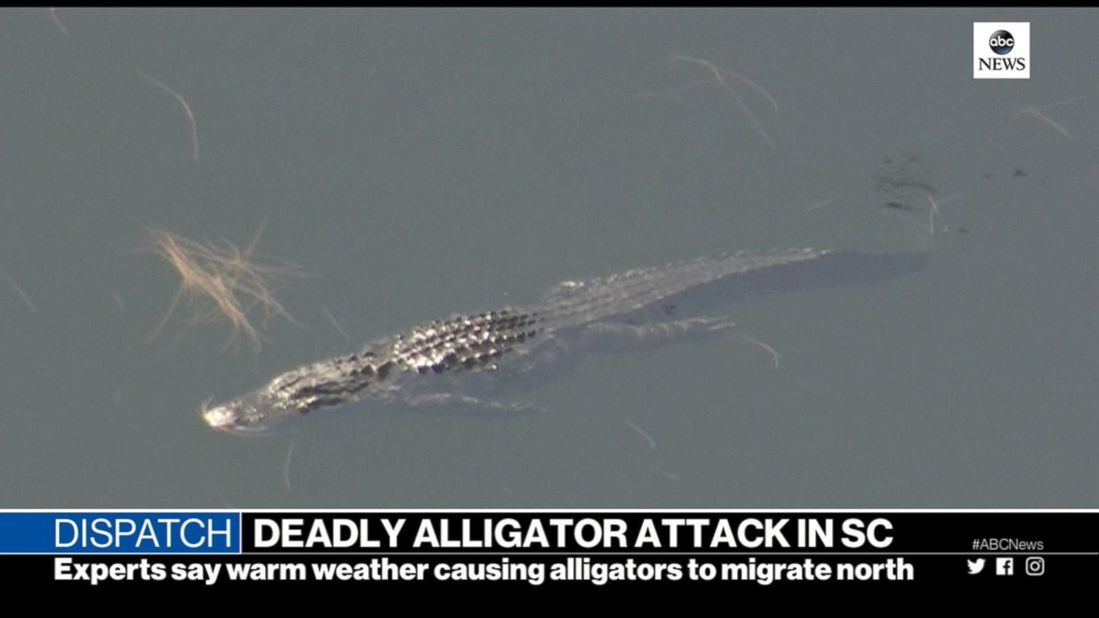 woman killed in apparent alligator attack would be first in