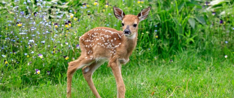 Cute Rustic Fall Wallpapers Cute Baby Deer Loves Being Tickled Abc News
