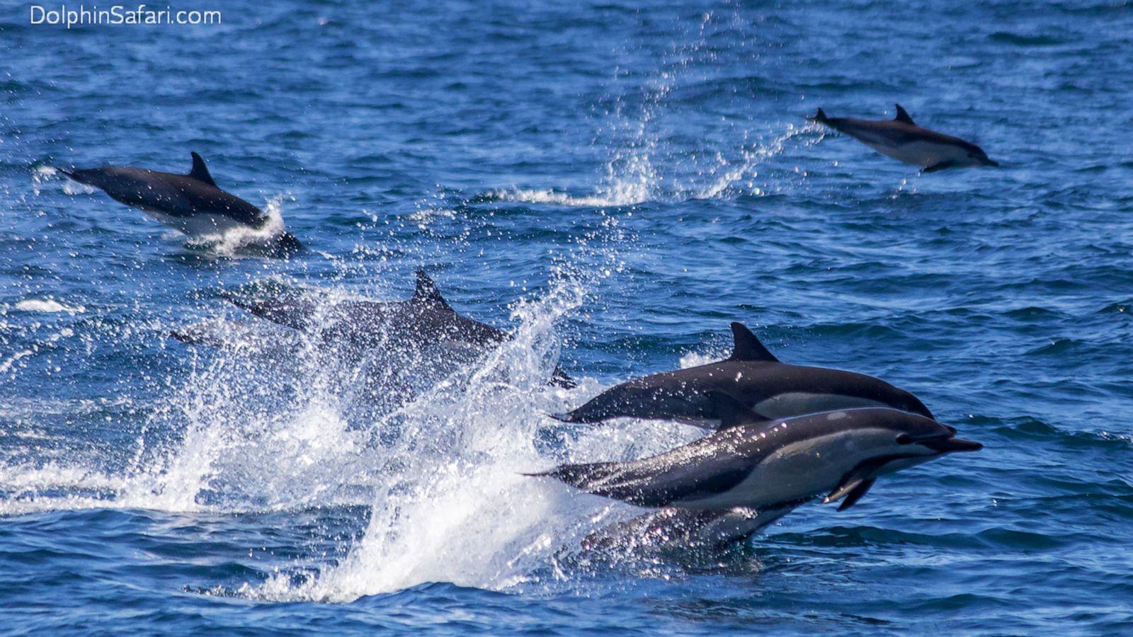 "Amazing ""Super pod"" of dolphins stampede along Dana Point coast 4/2/21"