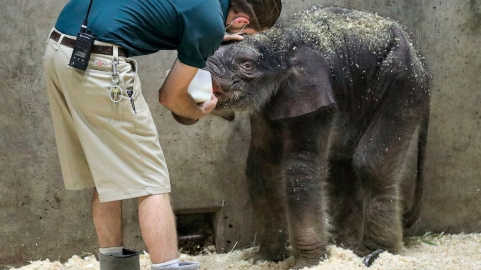 Baby Elephant Dies At St Louis Zoo Weeks After His Birth Abc News