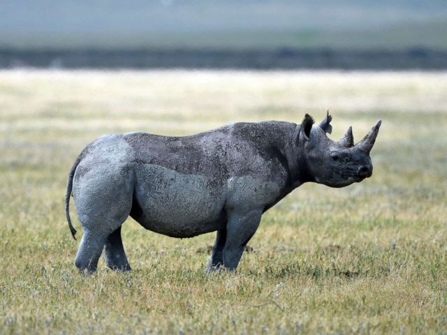 PHOTO: A black rhino is pictured in Ngorongoro crater Conservation Area of Southern Serengeti National Park in Arusha Region, Tanzania, on August 25, 2019.