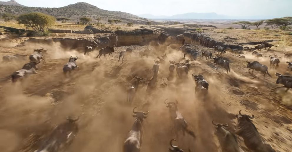 Wildebeests stampeding