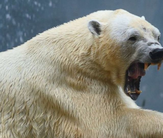 Canadian Man Dies Protecting His Children From Polar Bear