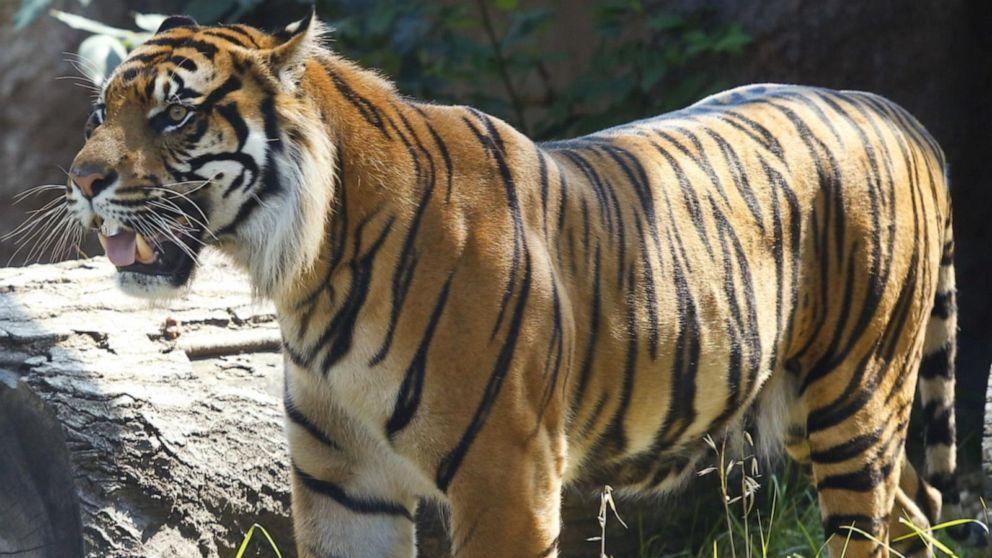 sumatran tiger sanjiv attacks