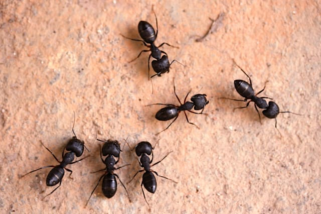 How To Get Rid Of Ants Complete Guide To Diy Natural Ant Treatments Odorous