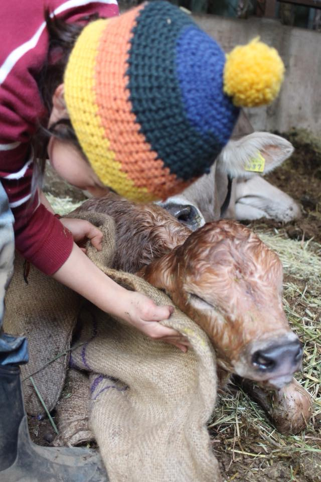 作業に行った当日、偶然牛のお産に立ち会った。生まれたばかりの子牛の体を拭く鷹之介君=八王子市の磯沼ミルクファーム