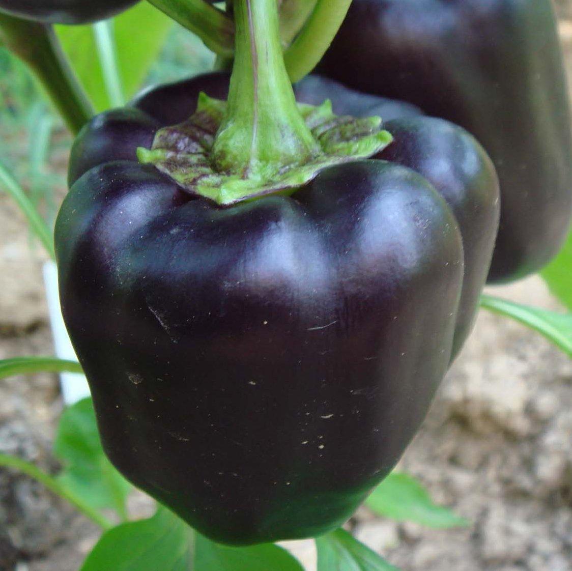 labelled diagram of pride barbados flower 2016 dodge ram 1500 wiring black heirloom sweet bell pepper 39purple beauty 39 capsicum