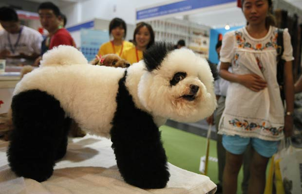 Poodle virou atração em feira na China.