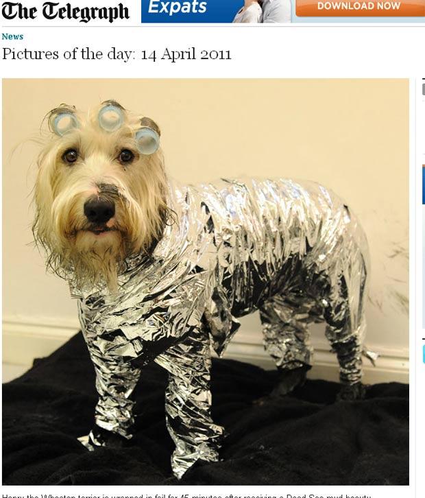 O cão chamado 'Henry' é envolvo em folhas de alumínio depois de receber tratamento com lama do Mar Morto. O tratamento especial foi lançado por um spa de luxo para animais de estimação em Londres, na Inglaterra, e custa entre 60 libras (R$ 155) e 150 libras (R$ 390), dependendo do tamanho do animal, segundo o jornal inglês 'Daily Telegraph'. (Foto: Reprodução/Daily Telegraph)