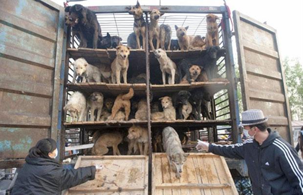 Grupo de protetores de animais libertam cachorros na Associação de Proteção Animal após um caminhão que levava 500 cães ter sido parado em rodovia de Pequim (Foto: AFP)