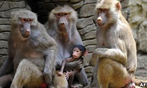 Cientistas temem que pesquisas médicas criem macacos falantes (Foto: AFP)