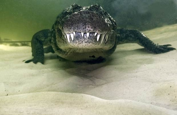 Daniel Botelho ficou a poucos centímetros e fotografou um crocodilo de 4,5 m. (Foto: Daniel Botelho/Barcroft USA/Getty Images)