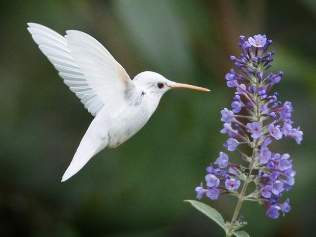 Beija-flor albino é raro, mas a espécie de pescoço vermelho não corre risco de extinção. (Foto: Caters News)