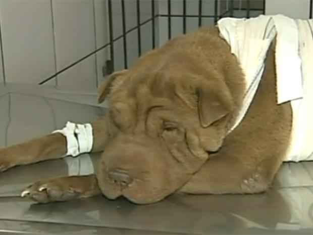 Cadela Maggie, da raça sharpei, se recupera em clínica veterinária (Foto: Reprodução/TV Tem)