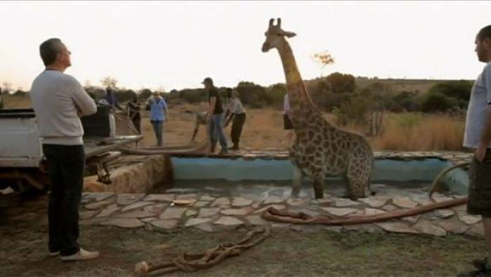 Girafa caiu em uma piscina durante a gravação do programa 'Wild at Heart'. (Foto: Reprodução/YouTube)