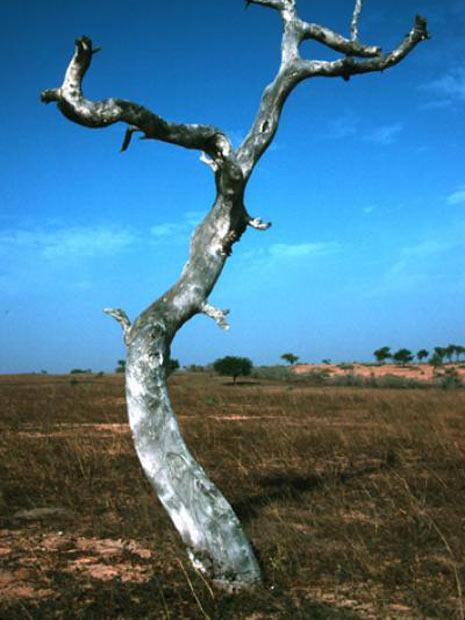 Imagem mostra exemplar seco da árvore Prosopis africana, no Senegal  (Foto: Divulgação/Patrick Gonzalez)