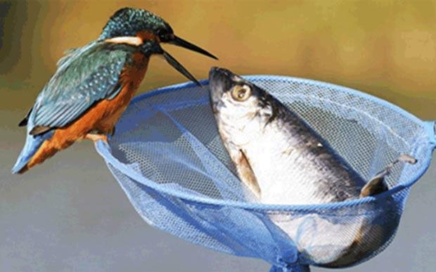 Em novembro de 2010, um pássaro foi fotogrfado tentando 'roubar' um peixe muito maior do que seu próprio tamanho. No final, a ave desistiu e capturou um peixinho na água. (Foto: Barcroft Media/Getty Images)