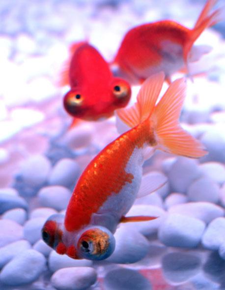 Diferentes peixes são expostos em aquários durante a pré-estreia da exibição 'Arte Aquário', montada pelo especialista em aquários Hidetomo Kimura. A mostra ficará poderá ser visitada pelo público em Tóquio a partir desta sexta (17), até 24 de setembro.