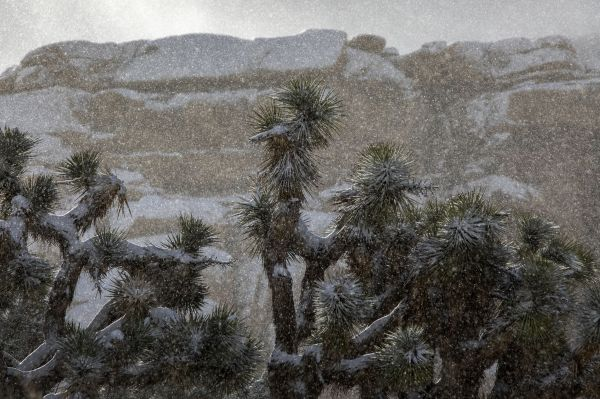 joshua tree dusted in rare snow