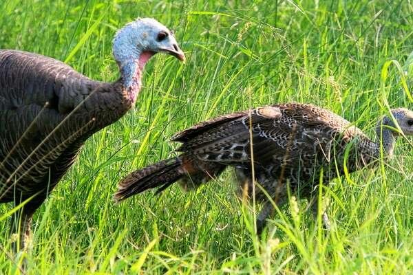 texas turkeys thriving after