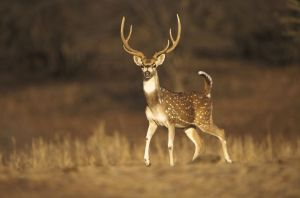Texas natural ranch lost more than 2,000 Axis deer in frost