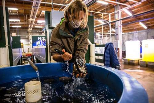 Daniel Swezey, a project scientist at the UC Davis Bodega Marine laboratory and lead scientist with The Cultured Abalone Farm, carefully removes a large wild red abalone from a holding tank at the UC Davis Coastal and Marine Sciences Institute's Bodega Marine Laboratory in Bodega Bay, California Thursday March 25, 2021.
