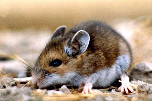 Placer County resident dies after contracting hantavirus ...