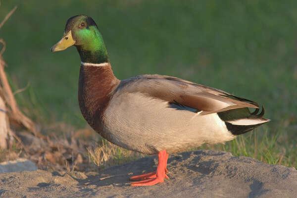migratory wild ducks captivate