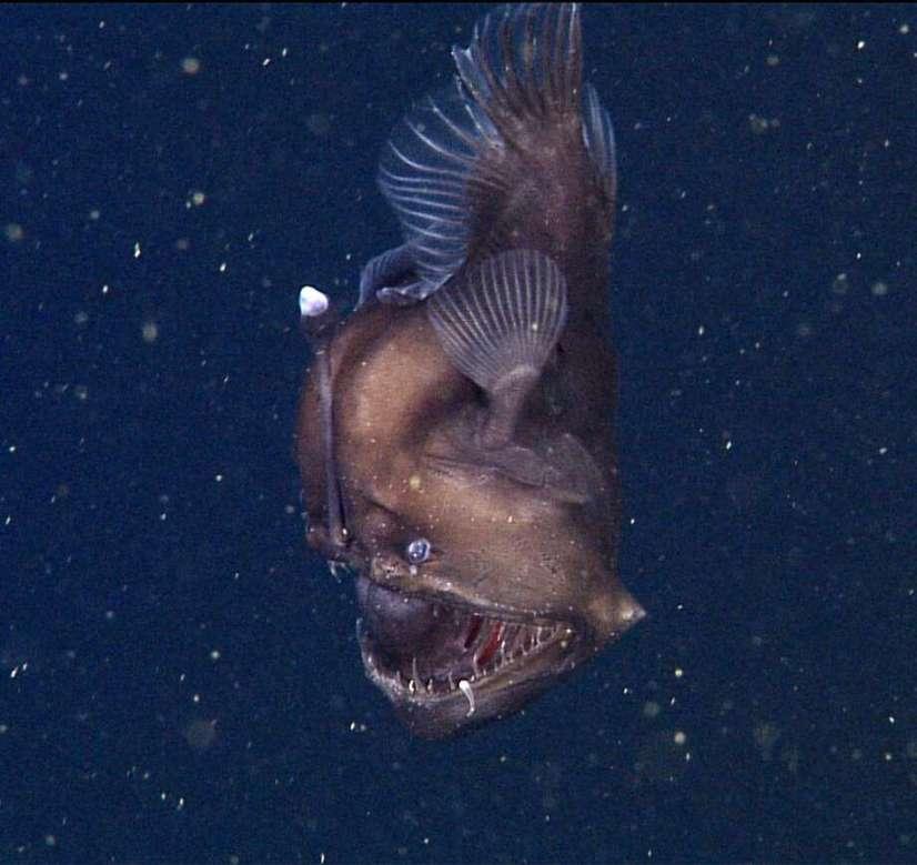A deep sea fish
