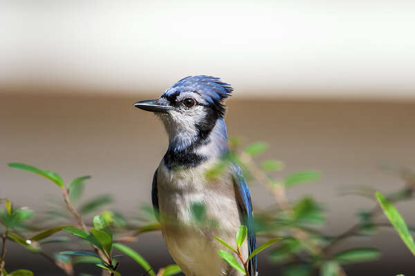 why blue jays are