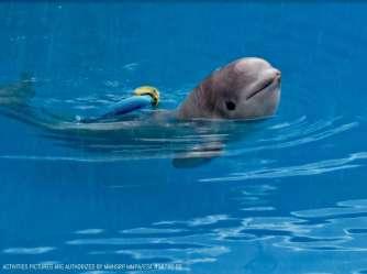 beluga whale tyonek baby seaworld san local business antonio close captions read courtesy