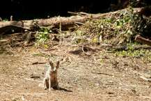 Coyote Attacks 6-year-old Girl in California Park