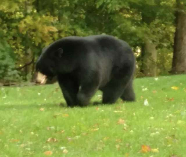 This Very Large Bear Was Observed In The Area Of Still Hill Road And Post Falls