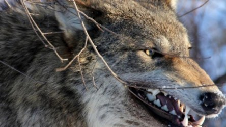 Angry Wolf Wallpaper 4k #369435 HD Wallpaper & Backgrounds Download
