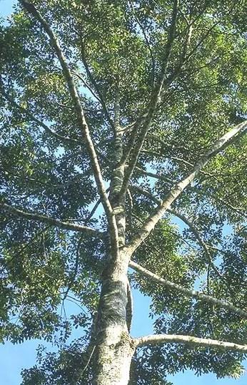 Ciri Ciri Kayu Cendana Asli : cendana, Mengenal, Pohon, Cendana, Khasiatnya, KASKUS