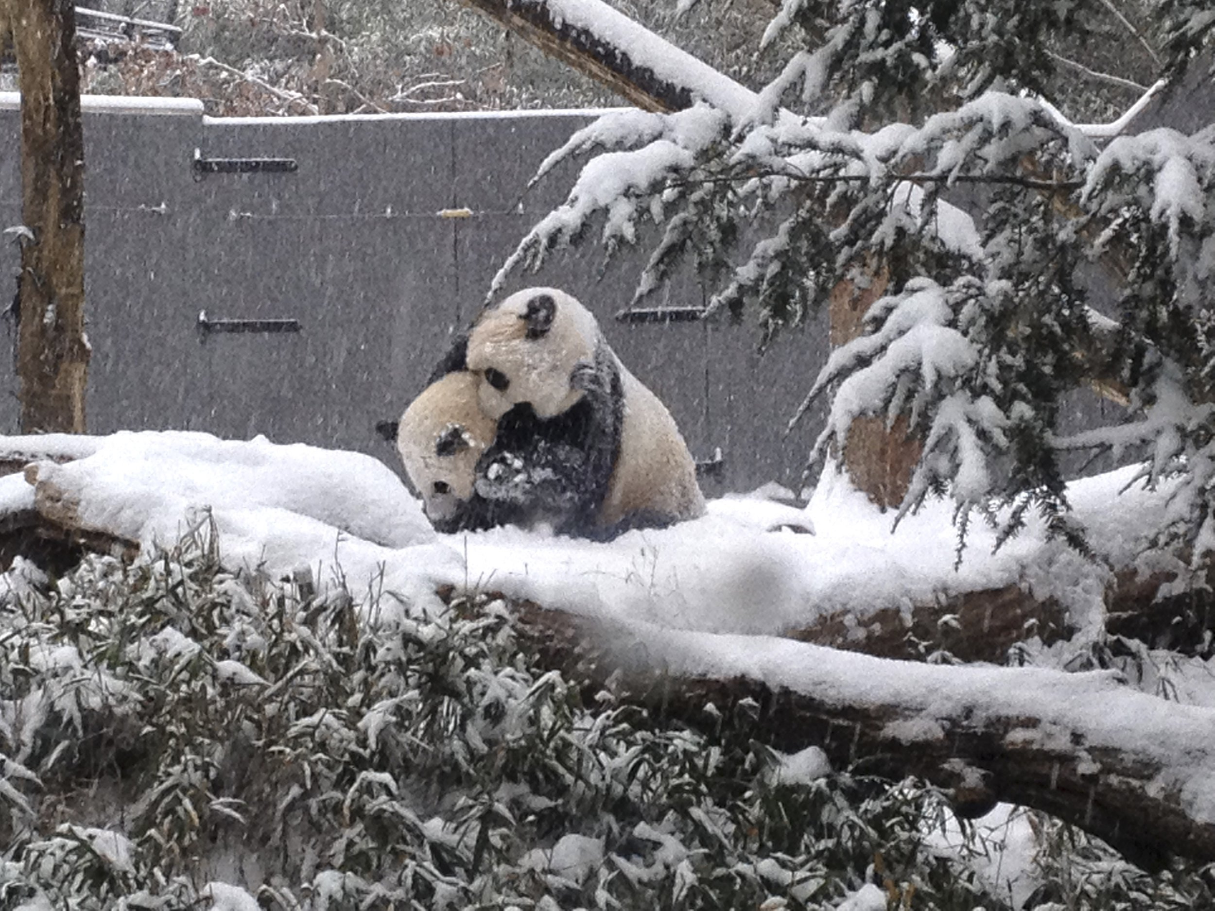 Tian Tian the Panda Revels in Snow in BlizzardInundated