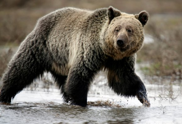 Trump officials' decision to lift protections for Yellowstone grizzly bear called 'a gift to trophy hunting'
