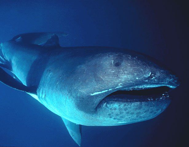 Image result for megamouth shark