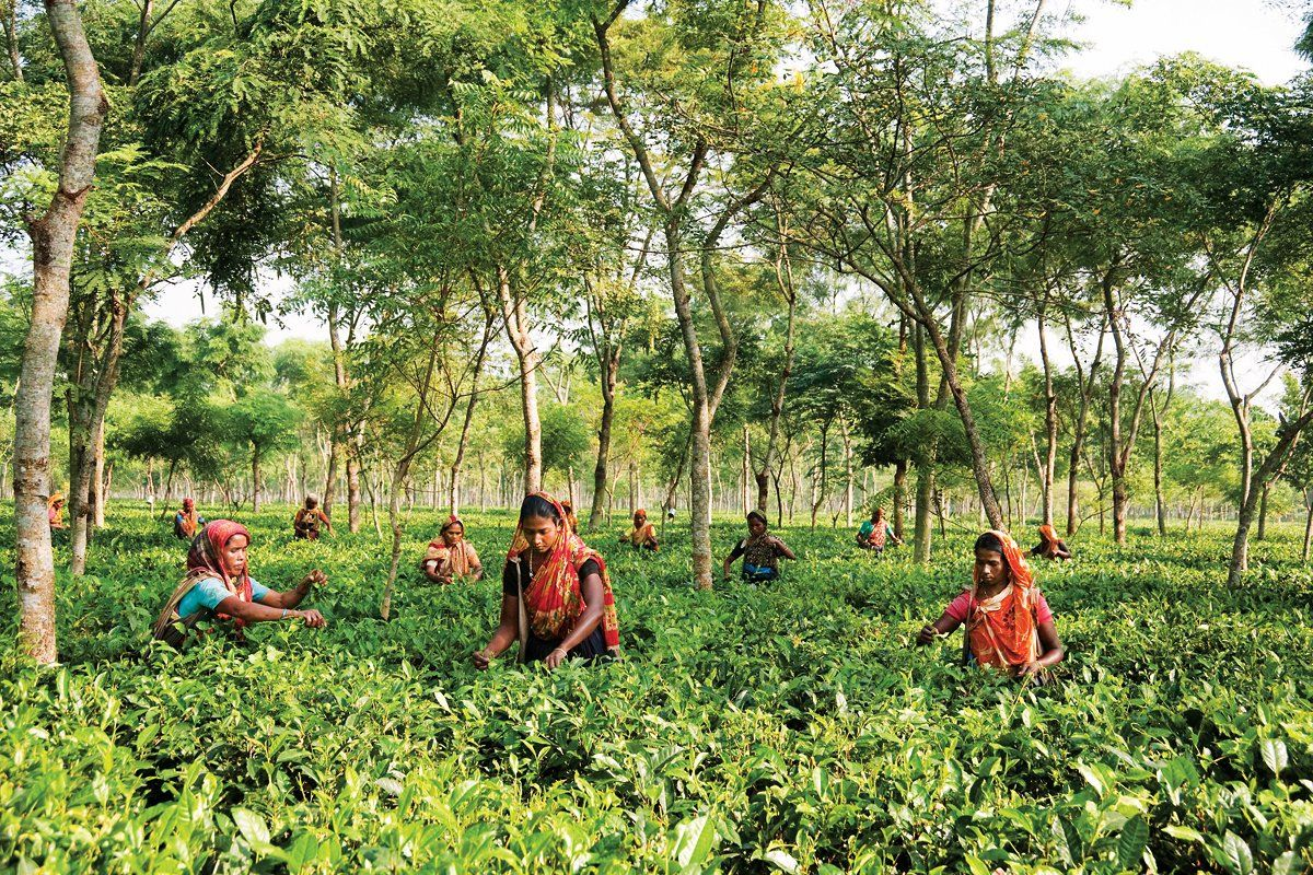 Teatulia How Organic Tea Transformed A Bangladesh Community