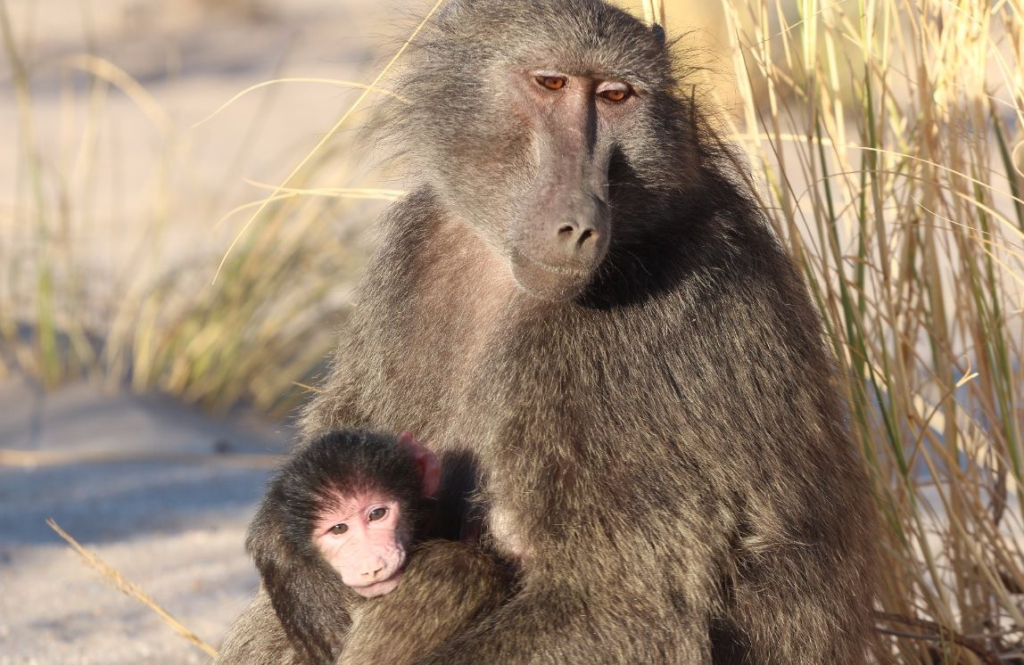 Evolution of Sexual Intimidation Male Baboons Beat up Females to Increase Mating Success