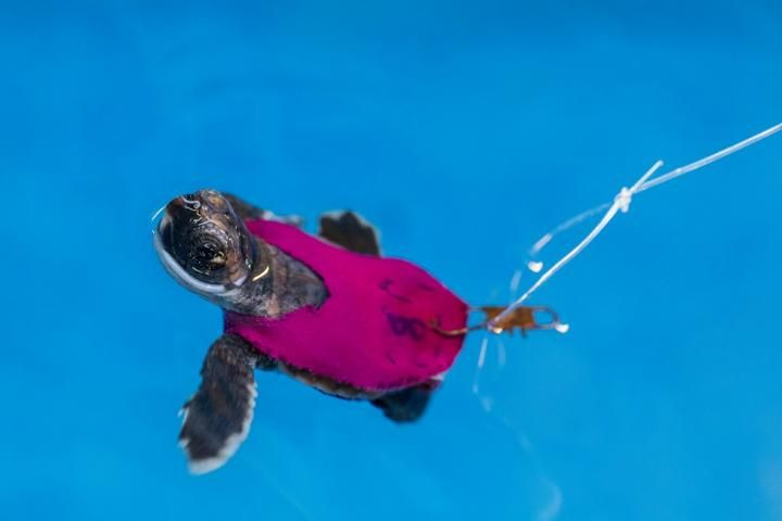 Babies Wallpaper Cute Video Shows Baby Sea Turtle Running On Tiny Treadmill
