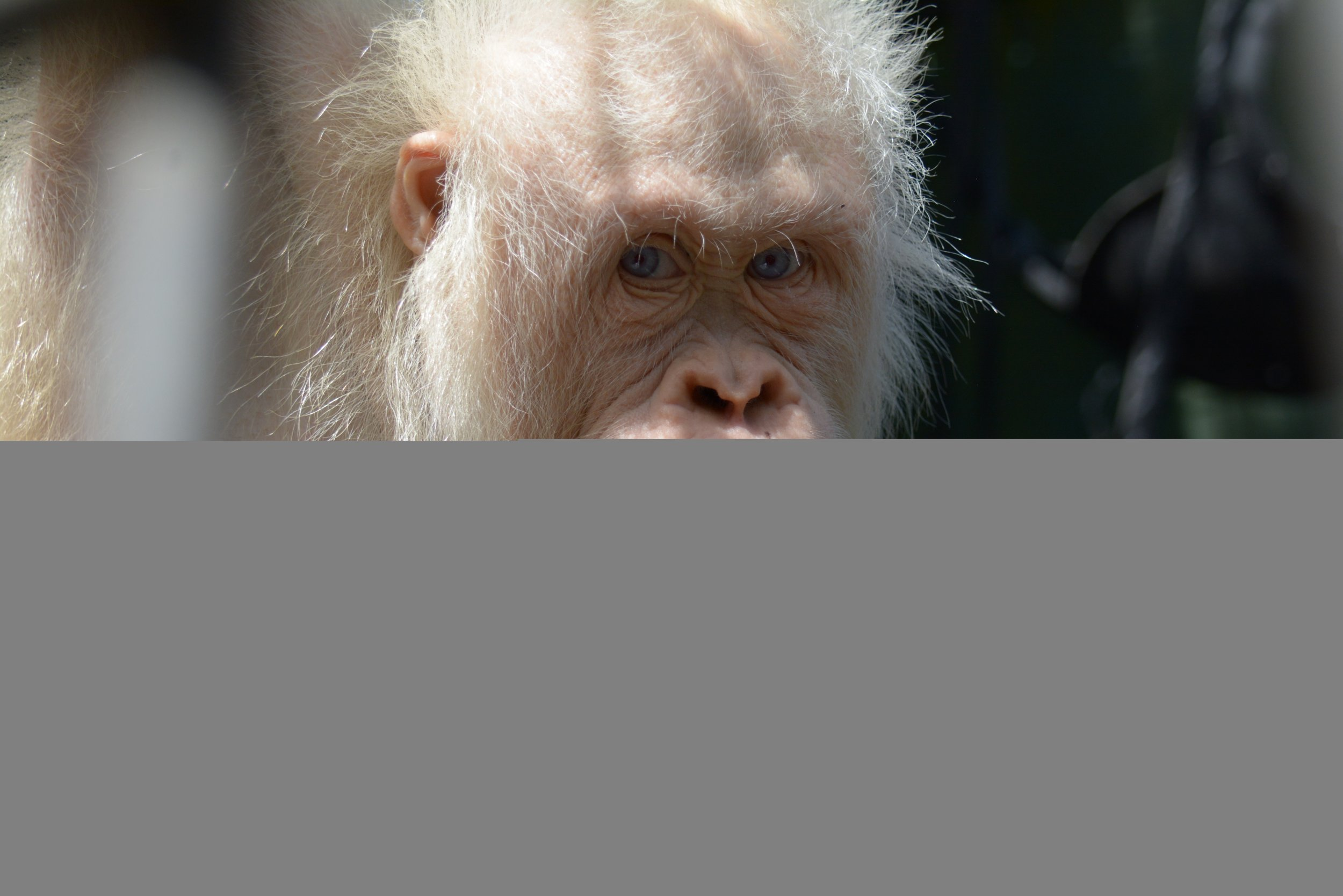 The Worlds Only Known Albino Orangutan Is Moving To Her