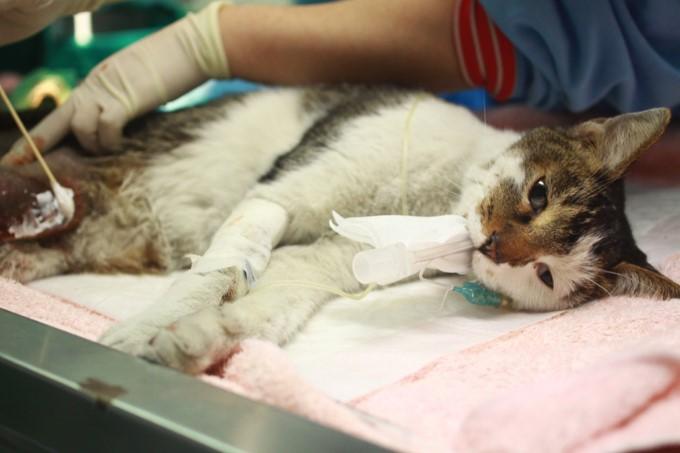 新北動保獸醫接力救援 斷腿「黑白貓郎君」痊癒靜待有緣人