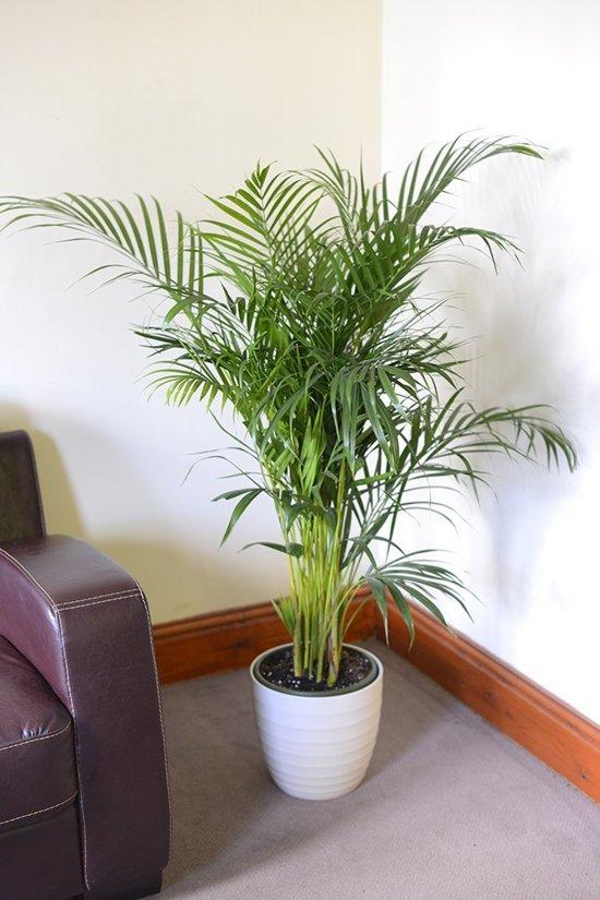 bolcom  Chrysalidocarpus lutescens  Goudpalm  Areca