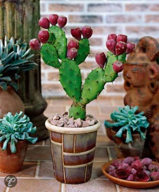 bolcom  Bakker Kamerplanten Vijgencactus