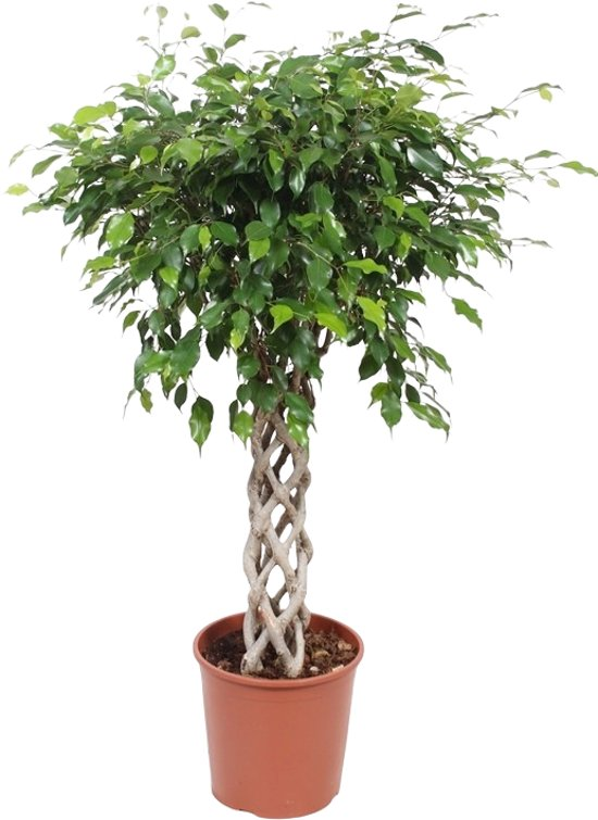 bolcom  Ficus Exotica kokerstam Topkwaliteit 150 CM