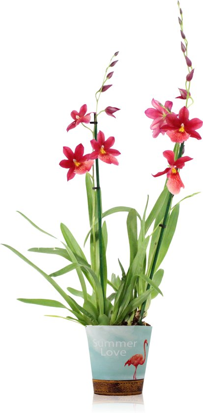 bolcom  Inca Orchidee Nelly Rood