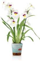 bolcom  Inca Orchidee Nelly Rood