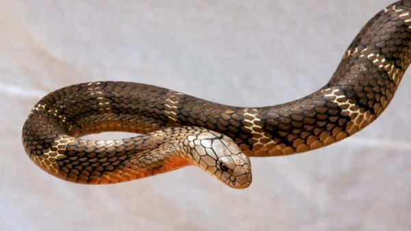 snake Toronto Man Bit by Venomous Snake | The Weather Channel